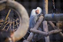 Portrait Of Sad Male Hamadryas Baboon (Papio Hamadryas) Sitting In The Cage.