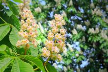 Horse-Chestnut, Aesculus Hippocastanum Flowers