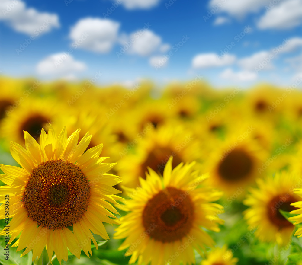 Fototapety, obrazy: field of blooming sunflowers