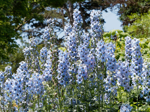 Stampa su Tela Delphinium ceratophorum - Hampes florales de Delphinelles ou Pieds d'alouette au