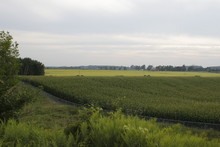 Corn And Wheat Field Under The...