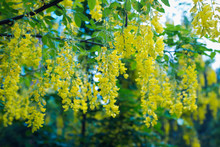 Blooming Yellow Wisteria