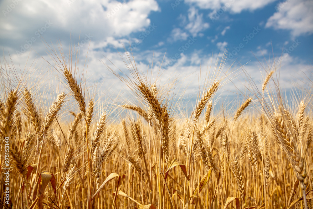 Fototapety, obrazy: Yellow wheat against the sky. Ukraine.