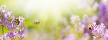 Bienen In Blühendem Lavendel Feld -  Sommer  -  Panorama, Banner