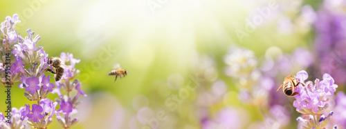 Foto op Canvas Bee Bienen in blühendem Lavendel Feld - Sommer - Panorama, Banner