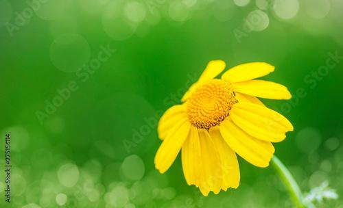 Fotografie, Obraz  macro de una flor amarilla en el campo