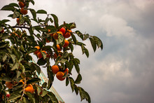 Yellow Persimmon Hanging On Tr...