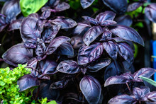 Close Up Of Fresh Red Basil Or Ocimum Basilicum Leaves In Direct Sunlight, In A Summer Garden, Soft Focus