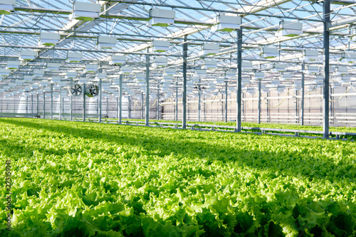 Stampa su Tela Lettuce growing in greenhouse. Hydroponic vegetables