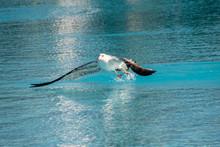 Seagull (Laridae) Taking Fligh...