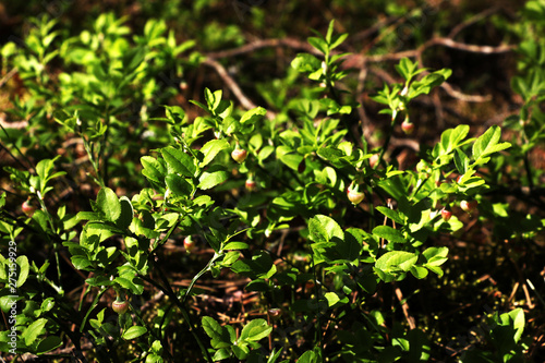 bush of young blueberries in spring, early summer Wallpaper Mural