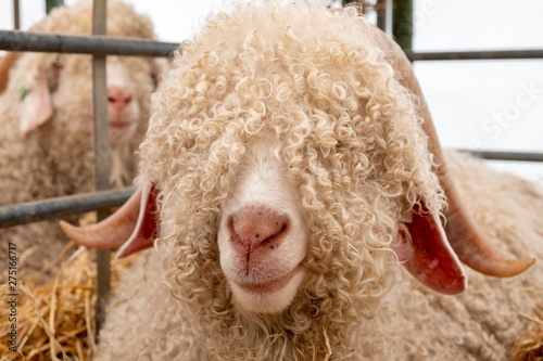 Fotografija Angora sheep face