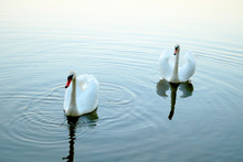 Two White Swans Float On Water In Park