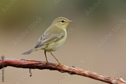 Fotomural  Phylloscopus trochilus, Willow Warbler perched on a branch