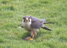 Hawk In The Grass