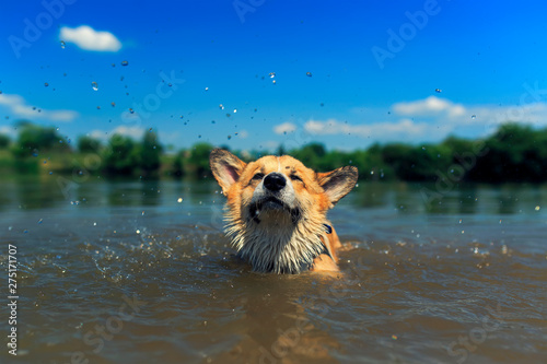 cute red puppy Corgi dogs with large ears swim in a pond