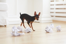 Chihuahua And Crumpled Papers