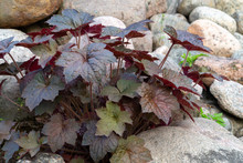 Perennial Plant Heuchera Hybrid Known As Alum Root In Rockery In The Garden
