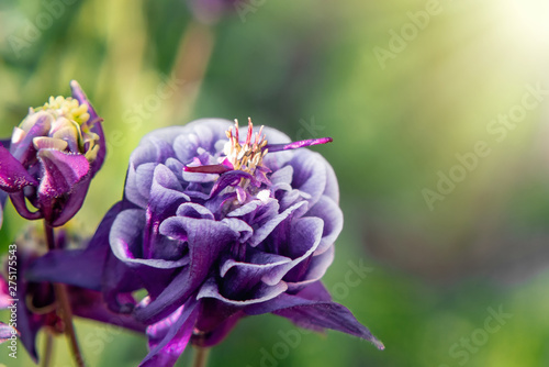 Photo Deep purple flower terry aquilegia Winky on a bed in the summer garden close-up