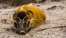 Closeup Of A Sleeping Red River Hog, Tropical Wild Boar From Africa
