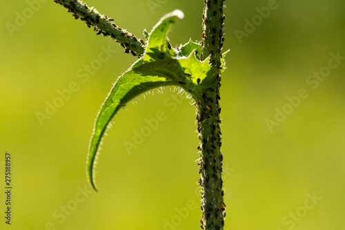 Common aphids are seen close-up, infesting the stem and foliage of a green plant in the garden Fototapet