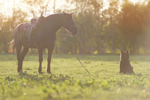 Thoroughbred Brown Latvian Riding Horse With A Saddle Staying On A Green Grass Being Held On A Lead By A Black Long-haired German Shepherd Dog On Sunset