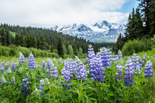 Purple Lupin Wildflowers In Th...