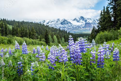 Purpurowe łubinowe kwiaty w odległych górach Delta Alaski.
