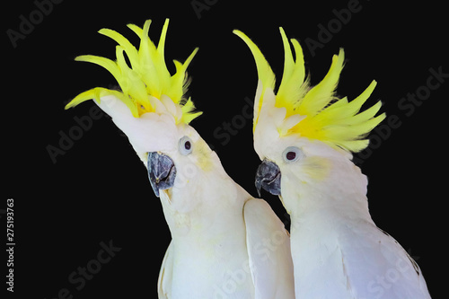 Greater Sulphur-crested Cockatoo isolated Canvas-taulu