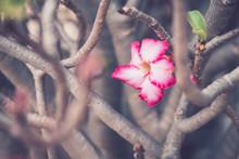 Adenium Or Desert Rose Flower In The Garden