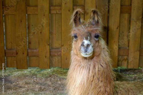 Poster Lama brown llama lama farm animal wool farming agriculture rural field