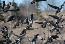 Group Of Canada Geese In Flight.