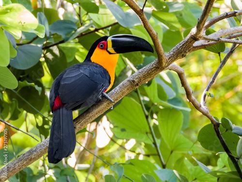 Fototapeta Channel-billed Toucan
