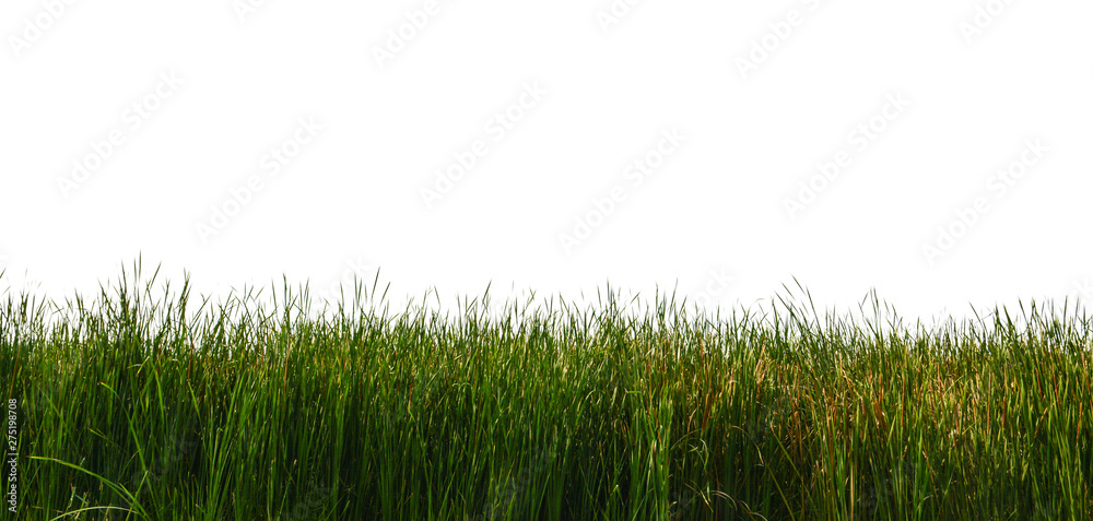 Fototapety, obrazy: Large tall grass on a white background