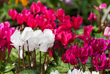 Close Up Of White Cyclamen Flo...
