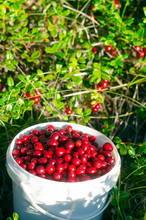 Juicy Berries Of Wild Cranberries With A Slide Lie In A Bucket Opposite The Unassembled Berries. Autumn Gathering In The Northern Taiga Of Yakutia.