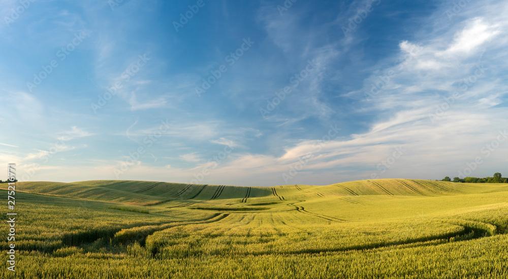 Fototapety, obrazy: wavy field of ripening grain against the blue sky