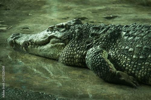 Photo  Crocodile in a farm