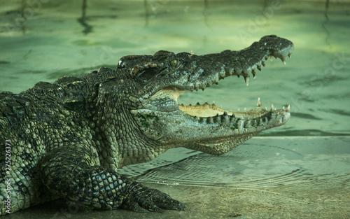 Crocodile in a farm Wallpaper Mural