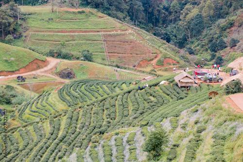 Printed kitchen splashbacks Khaki Green tea farm at Doi Angkhang in Chiang mai, Thailand