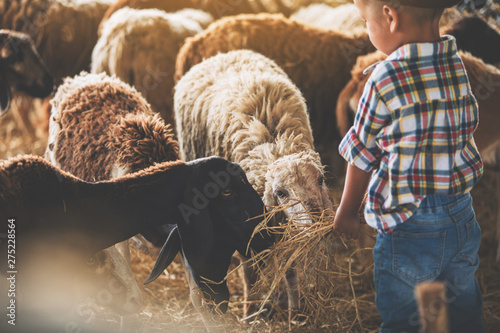 Foto  father and son in sheep farm;  Farmers take care and feed the animals on the farm