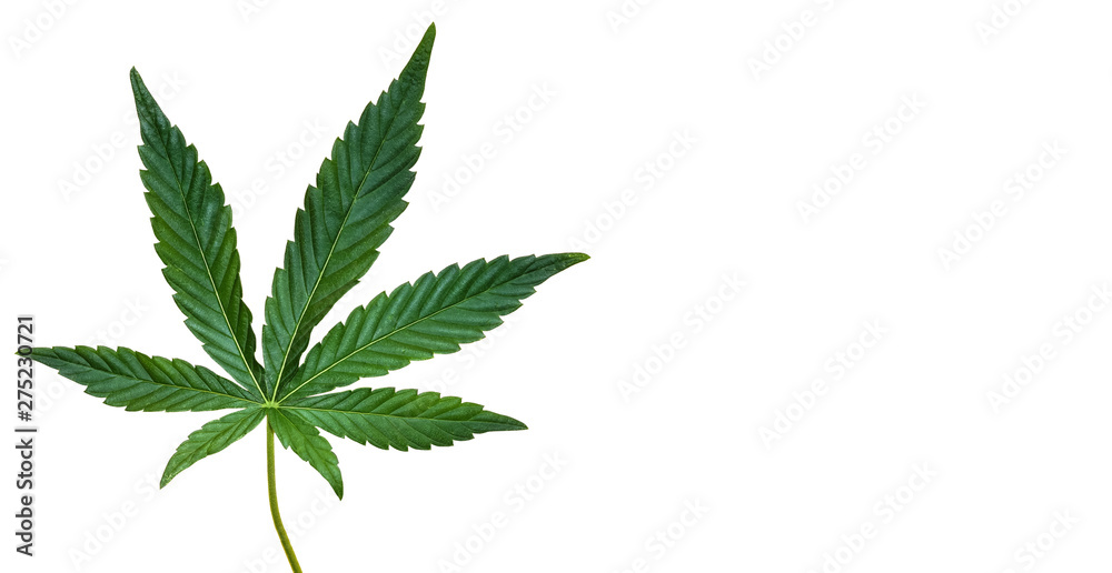 Fototapety, obrazy: Hemp or cannabis leaf isolated on white background. Top view, flat lay. Template or mock up.