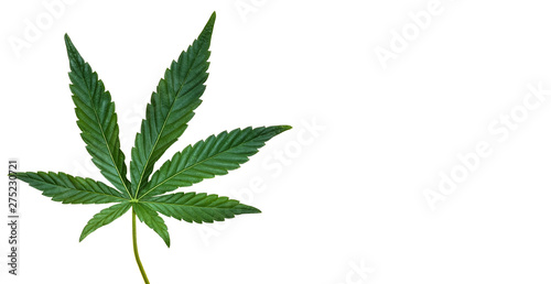 Hemp or cannabis leaf isolated on white background. Top view, flat lay. Template or mock up.