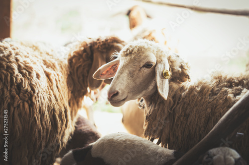 Spoed Fotobehang Schapen sheep and goat in countryside farm