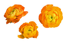Set Of Orange Ranunculus Flowers And Leaves