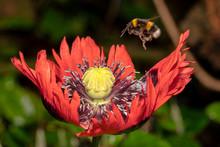 Bumblebee Flying Over Poppy