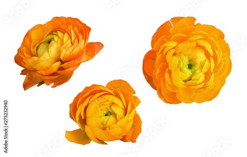 Fototapeta Set of orange ranunculus flowers and leaves
