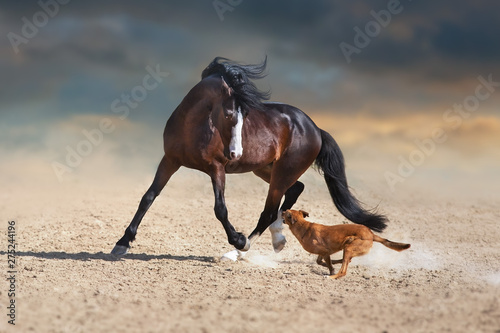 Foto op Canvas Paarden Beautiful bay horse with long mane run and play with dog in desert dust
