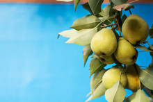 Fresh Juicy Pears On Pear Tree