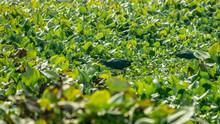 Closeup Of Moorhen Or Swamp He...